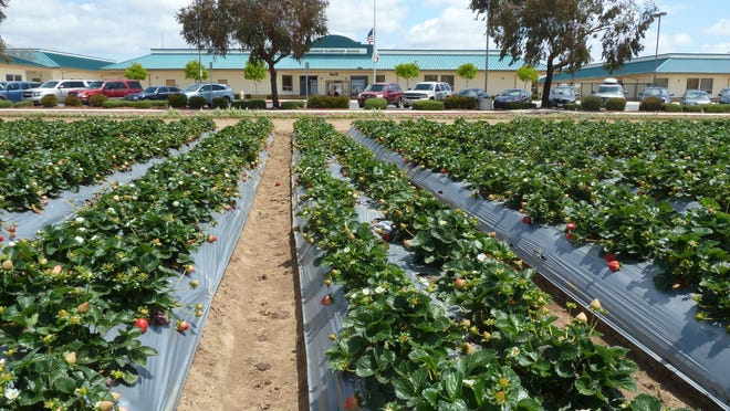 Up front, strawberries enhance the appearance of McKinnon Elementary School. Pesticide 1,3-Dichloropropene (Telone) was used at ranches within a quarter mile in 2010, according to a state report.