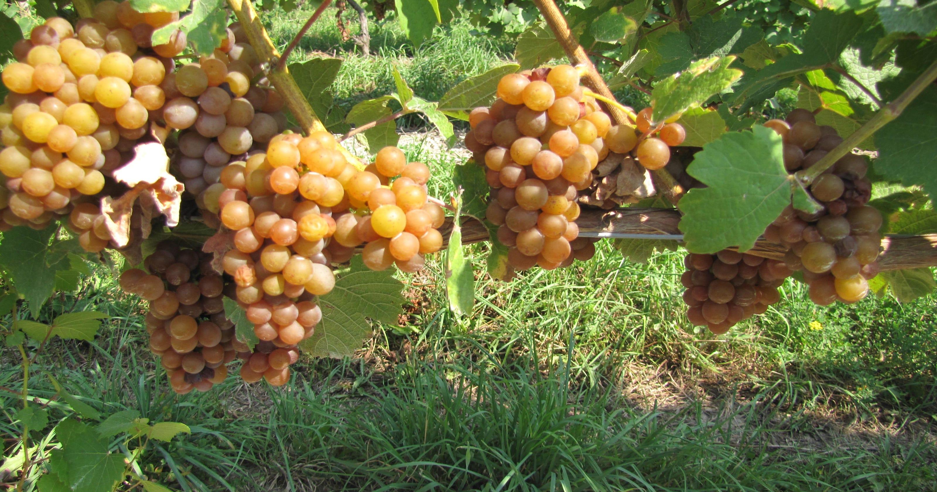 Grape harvest starts
