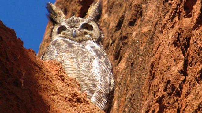 This Great Horned Owl was photographed in Scout Cave above Red Cliffs Drive.