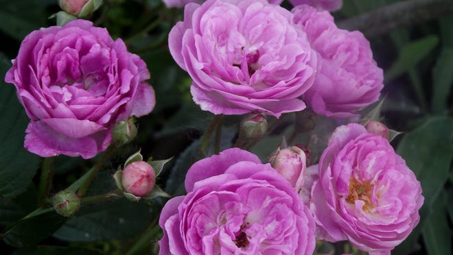 What is the best fertilizer to use for flowering shrubs, such as roses? That all depends on your soil test results. Find out more in this week's column.
