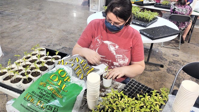 Volunteer Emily Gradisar prepares Pueblo Chile seedlings for delivery to home gardeners inside the Watertower Place.