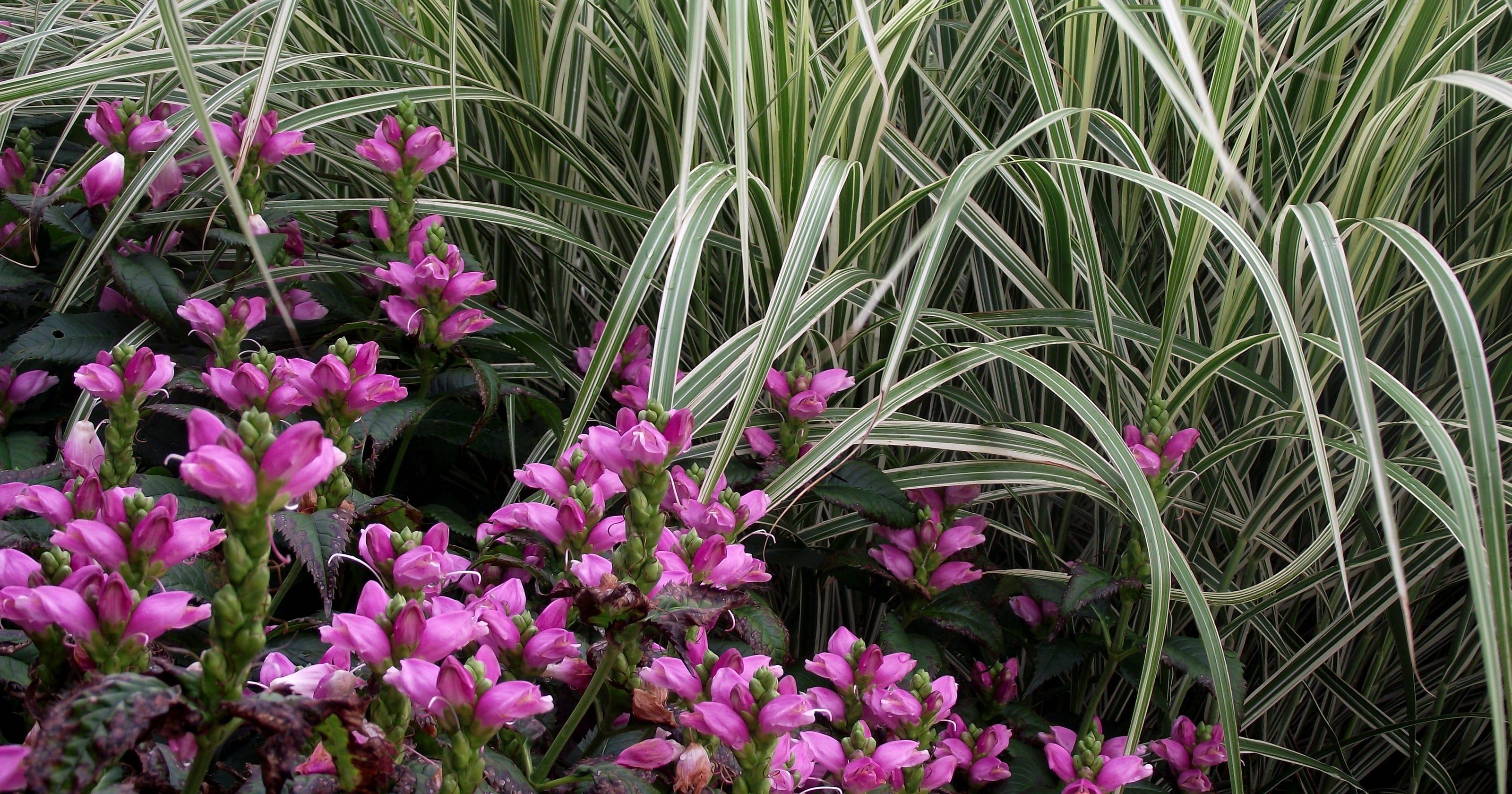 Yard Md Ornamental Grasses Provide Spectacular Beauty