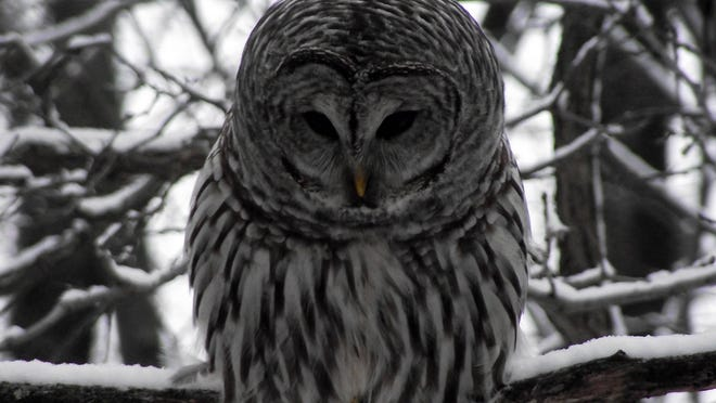Heckrodt Wetland Reserve in Menasha is one of the best places in east-central Wisconsin to watch wildlife, like this beautiful barred owl, during winter.