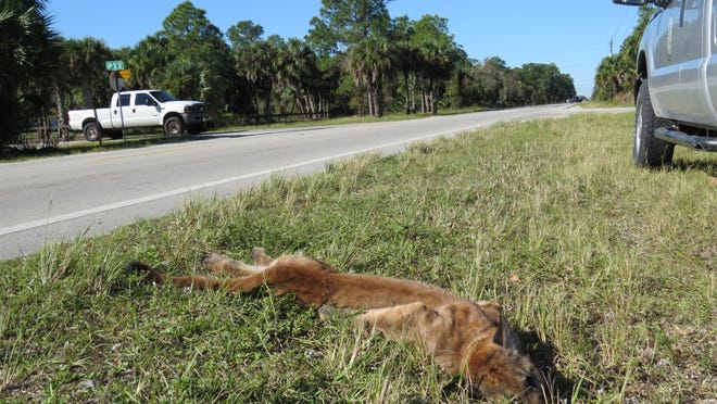 The remains of a six-month-old uncollared male were recovered Thursday by the Florida Fish and Wildlife Conservation Commission along Golden Gate Boulevard in Collier County