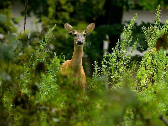 Deer at Watchung.jpg