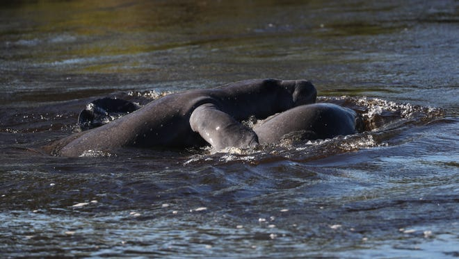 Hundreds of people came out in the cold weather to watch manatees swim and play in the warm water at Manatee Park in east Fort Myers on Friday, January 5, 2017.