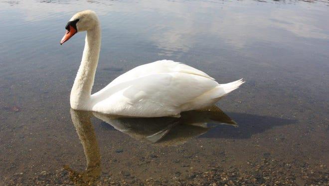 Swan at Randolph Park, Randolph, N.J.
