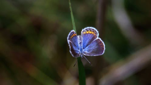 The karner blue butterfly is an endangered species in New York state.