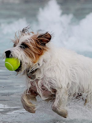"""Skyler, a rough-coated Jack Russell terrier, fetches a ball during the 2011 Puppies in the Pool event. """"Skyler"""" a rough-coated Jack Russell terrier fetches a ball on SUnday. The sixth annual Puppies in the Pool event was held  at the Trousdell Acquatic Center on Sunday, November 6, 2011. Dogs were divided into two groups and allotted certain swim times."""