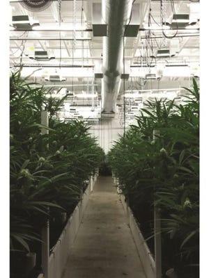 Marijuana plants growing indoors.