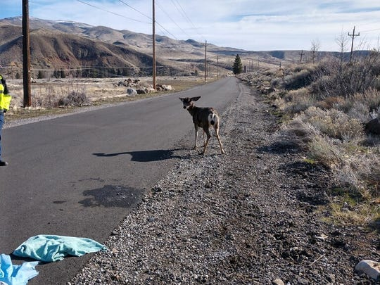 One lone deer stands walks along Bridge Street after it was rescued from a canal in Verdi on March 29, 2018.