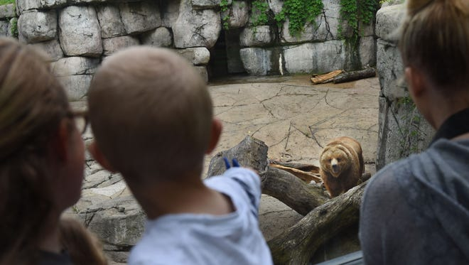 """""""Kenai,"""" a 21-year-old Brown Bear, looks up at the zoogoers in the Bear Canyon exhibit at the Great Plains Zoo and Delbridge Museum of Natural History on Mon., May 23, 2016. Sammons Financial Group donated $150,000 toward the $2 million renovation of the Zoo's Brown Bear exhibit scheduled to break ground this year. It will include a new lush meadow, a demonstration area for education, an efficient water filtration system and more space for additional bears in the exhibit."""