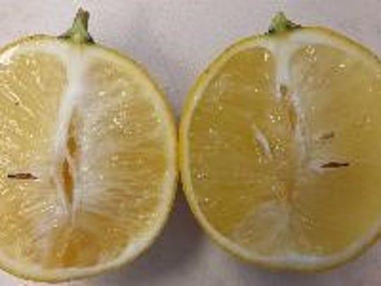 Citrus greening symptoms of the fruit.