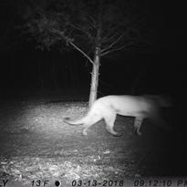 DNR confirms Colgate cougar sighting. It's probably the same cougar seen in Brookfield and Menomonee Falls