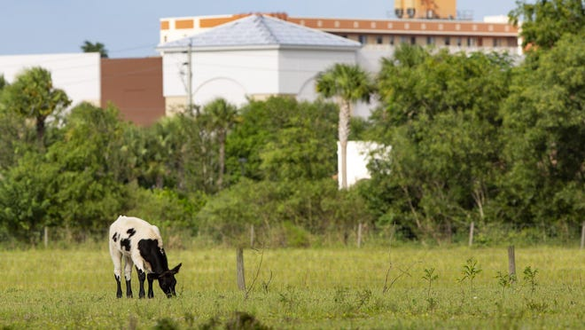 Cattle graze along West Atlantic Avenue on the northwest corner of Atlantic Avenue and Hagen Ranch Road in Delray Beach, Sept. 20, 2019.