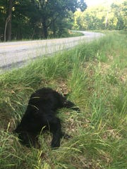 This young black bear was hit by a car Saturday on