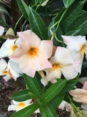 Apricot mandevilla. A close relative of the allamanda is the mandevilla, which can be used as a vining plant but usually is found in pots and in gardens as a shrub.