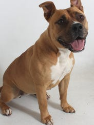 Lola is a 2-year-old, female, tan and white pit bull