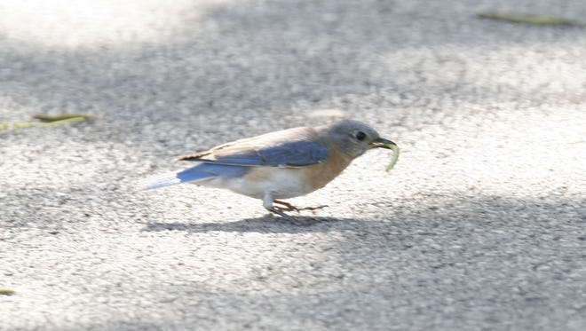 An Eastern bluebird collects food for its young. It's the New York State Bird.