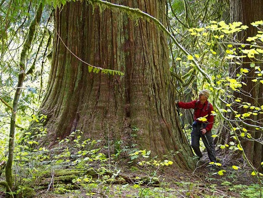 biggest forest hidden grove showcases largest trees in columbia gorge