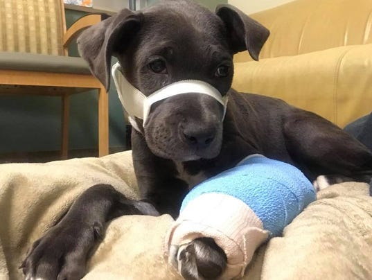 Halsey, abused 4-month-old puppy