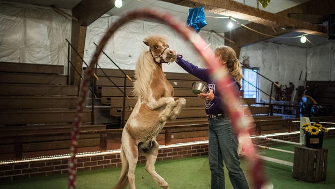 In this photo taken on May 7, 2014, Dawne Smith gives a treat to miniature horse Sea Time after a trick demonstration at the Land of Little Horses Farm Park.