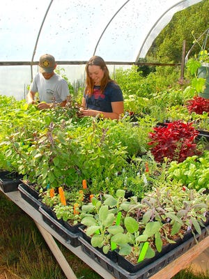 Gualberto Ponce and Emilie Rose Clarke check out plants ready for market at Cole Canyon Farm. The farms sells at farmer's markets are to grocery stores and nurseries.