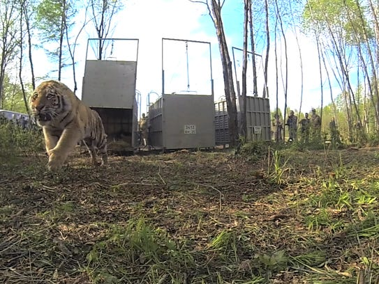 Kuzya, one of five Amur tigers released in May in Far