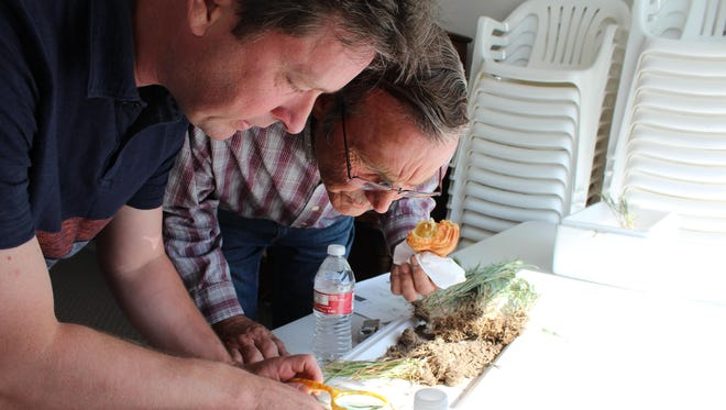 Plant pathologist Alan Dyer, left, from Montana State University, examines a barley plant infected with cereal cyst nematodes while Chouteau County wheat producer Steve Grossman looks on.