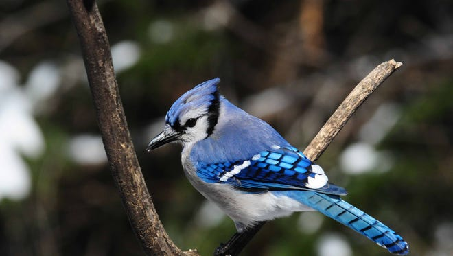 Among our smartest birds, boisterous blue jays have returned to backyards after a secretive nesting season and are caching acorns, nuts and grains in preparation for winter.