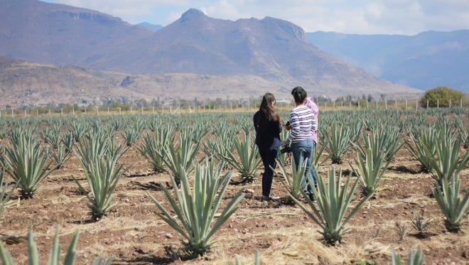 Guests on a Oaxacking tour can of course see agave fields. Email oaxacking@gmail.com to inquire.