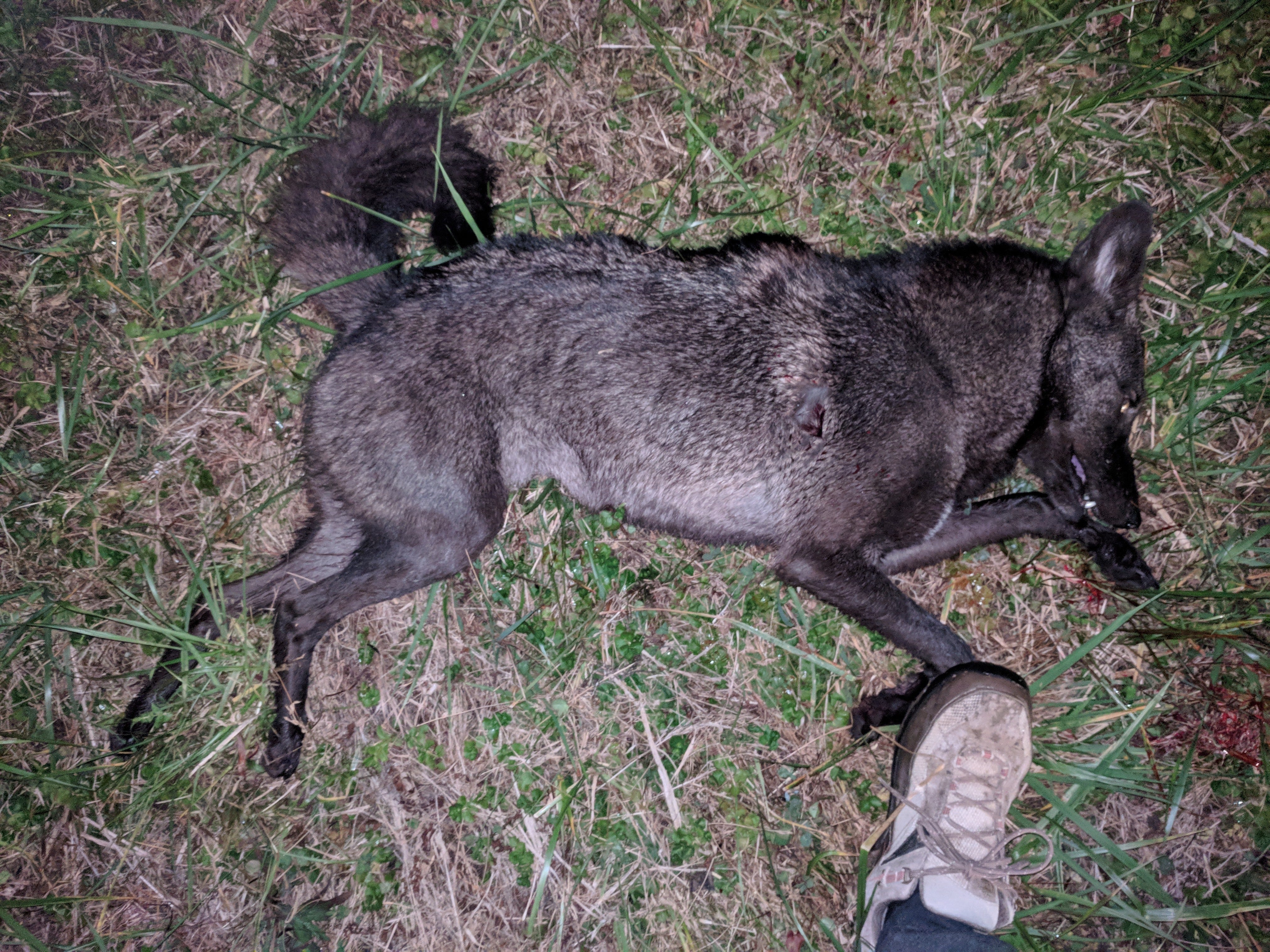 Uncommon black coyote shot in Powell Tennessee