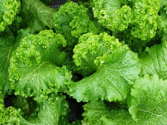 Mustard greens are one of several fall season veggies taht do well in cooler weather.
