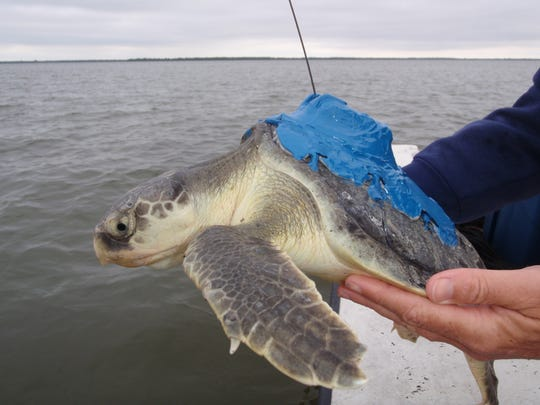 A sea turtle named KC wears a satellite tag in Pine Island Sound, showing  that Kemp's ridleys seem to avoid red tide areas.