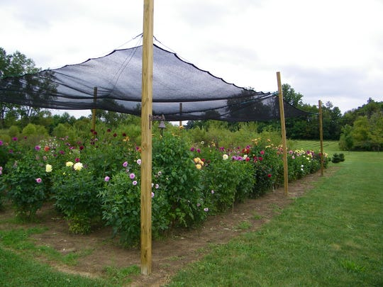 Binger experimented with shade cloth this year, which successfully produced taller, stronger dahlias. The shorter flowers on the right of the photo grew under full sun.