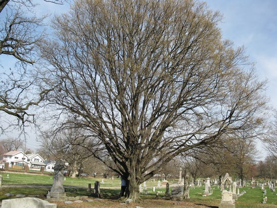 Ironwood tree at Crown Hill Cemetery.