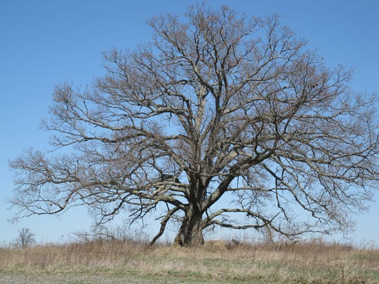 Indiana Big Tree Register 2010 white oak in Clay County.