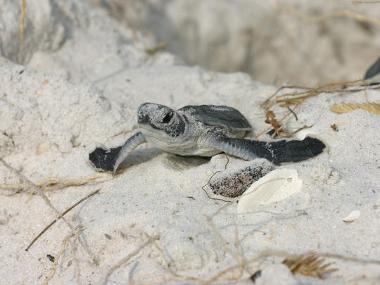 Green sea turtles nest every other year.