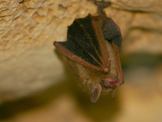 A tongue sticking out  Eastern Pipistrelle bat.