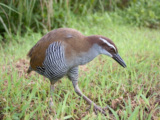 The ko'ko', or Guam rail.