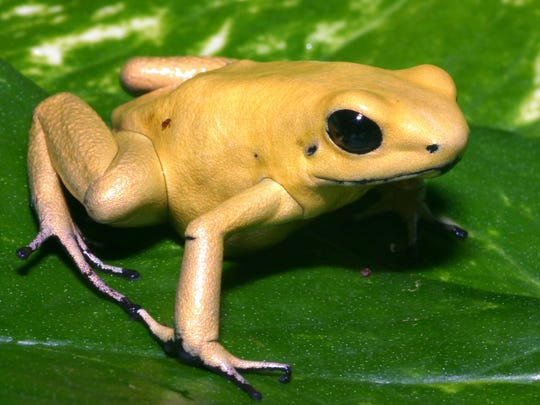 The skin of the Golden Frog (Phyllobates terribilis), as first described by museum herpetologist Charles Myers in 1978, is, ounce for ounce, one of the most toxic substances on Earth. Live golden poison frogs will be on display in at the Power of Poison exhibit at Indiana State Museum Oct. 21, 2017, to Feb. 11, 2018. The exhibit is by the American Museum of Natural History.