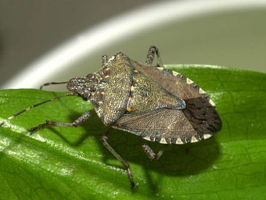 A brown marmorated stinkbug, an insect pest introduced