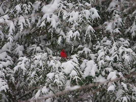 Cardinal-in-the-Snow.-Photo-by-John-Mizel.jpg