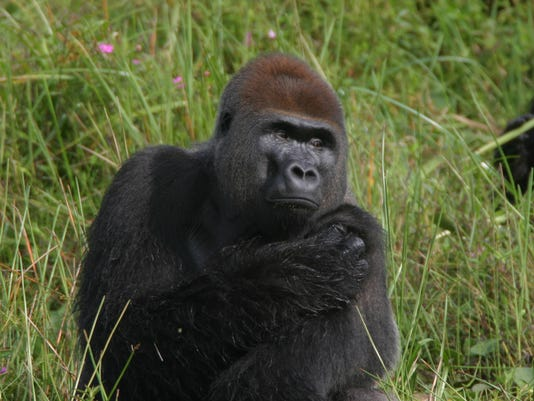 gorillas more plentiful in africa than thought but population dropping