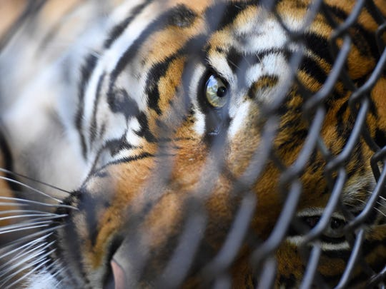 Bashir, a Malayan tiger, rests in an enclosure at the Knoxville Zoo on Aug. 13, 2015.