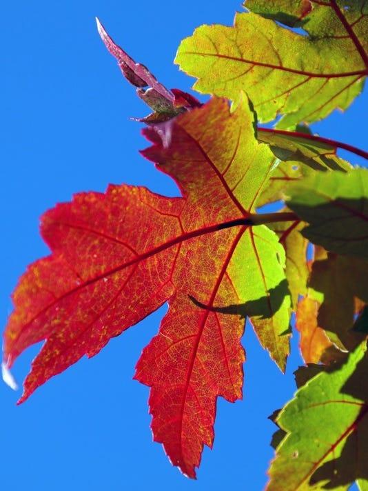 david's backlit leaf