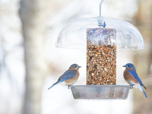 636579369819825523-Eastern-Bluebird.jpg