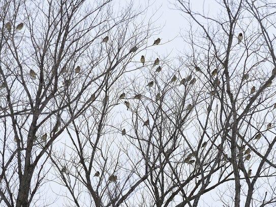 Cedar waxwings sit in the trees Tuesday, Dec. 29 in