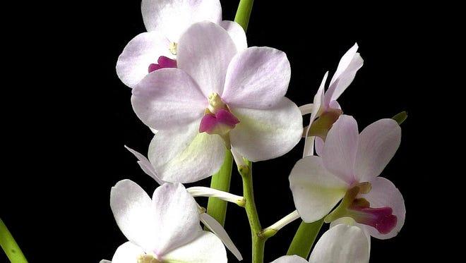Vanda-Ferete orchid