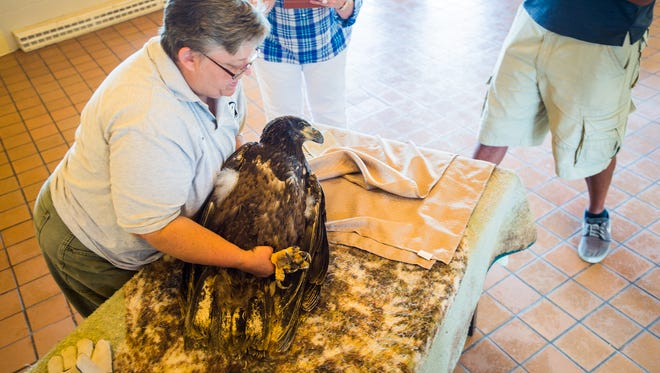 Wendy Looker, left, a licensed raptor rehabilitator with Rehabitat, handles a bald eagle that was found near Fayetteville with an injury from a leghold trap. The eagle was undergoing an exam by veterinarian Ann Pettigrew of Leader Heights Animal Hospital.